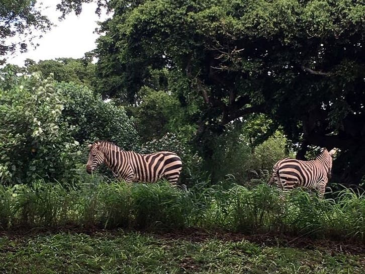 Five Zebras Are on the Loose in Prince Georges County