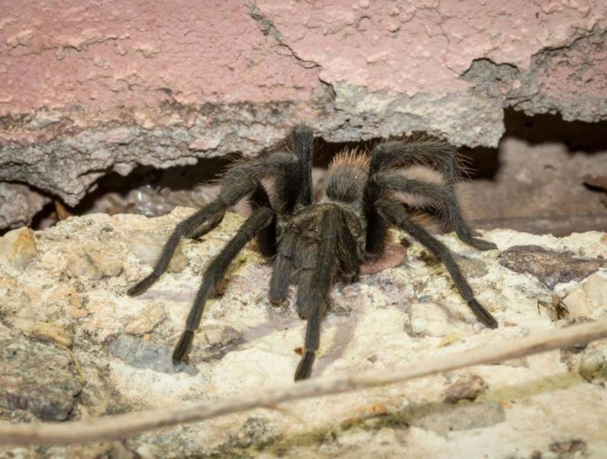 Video Tot Pedals Into Traffic Tarantula Invasion Oc Today Orange County Ca Patch