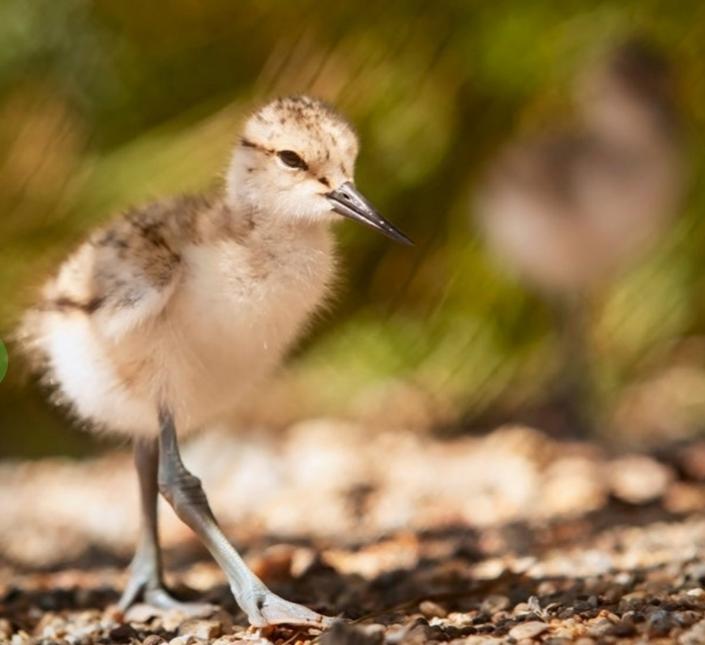 Toontown Brawl   Rare Baby Chicks   LA Today