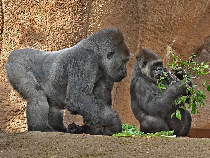 Gorilla To Have Baby At LA Zoo For First Time In Decades