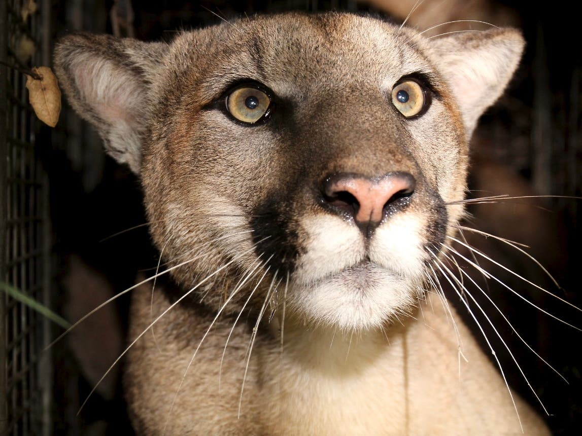 Deformed Mountain Lion A Product Of Inbreeding In LA's Mountains
