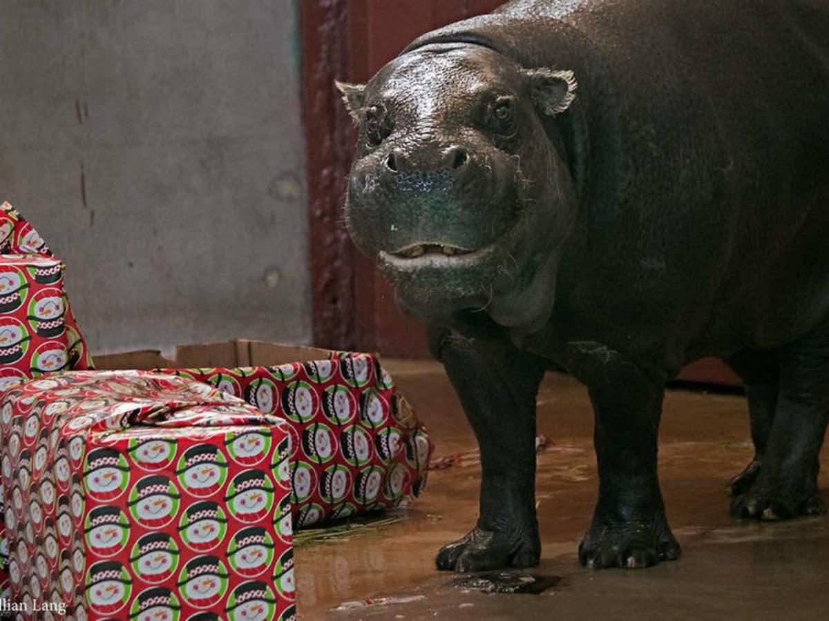 Hippo For Christmas.Hippopotamus Oklahoma City Zoo Got For Christmas Dies