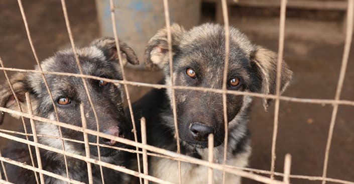 Malnourished Dogs Found Eating Dead Pigs, Couple Arrested ...