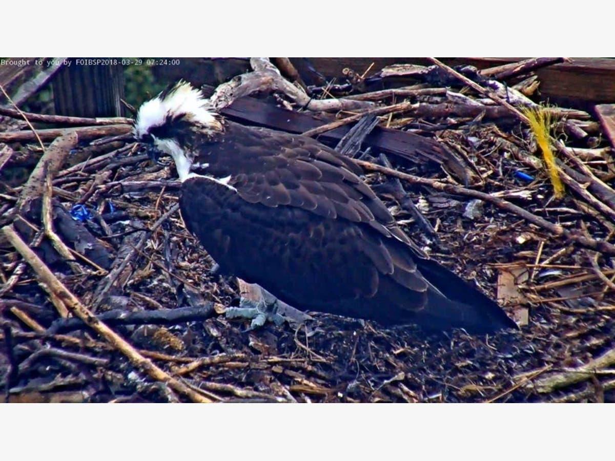 barnegat light osprey cam