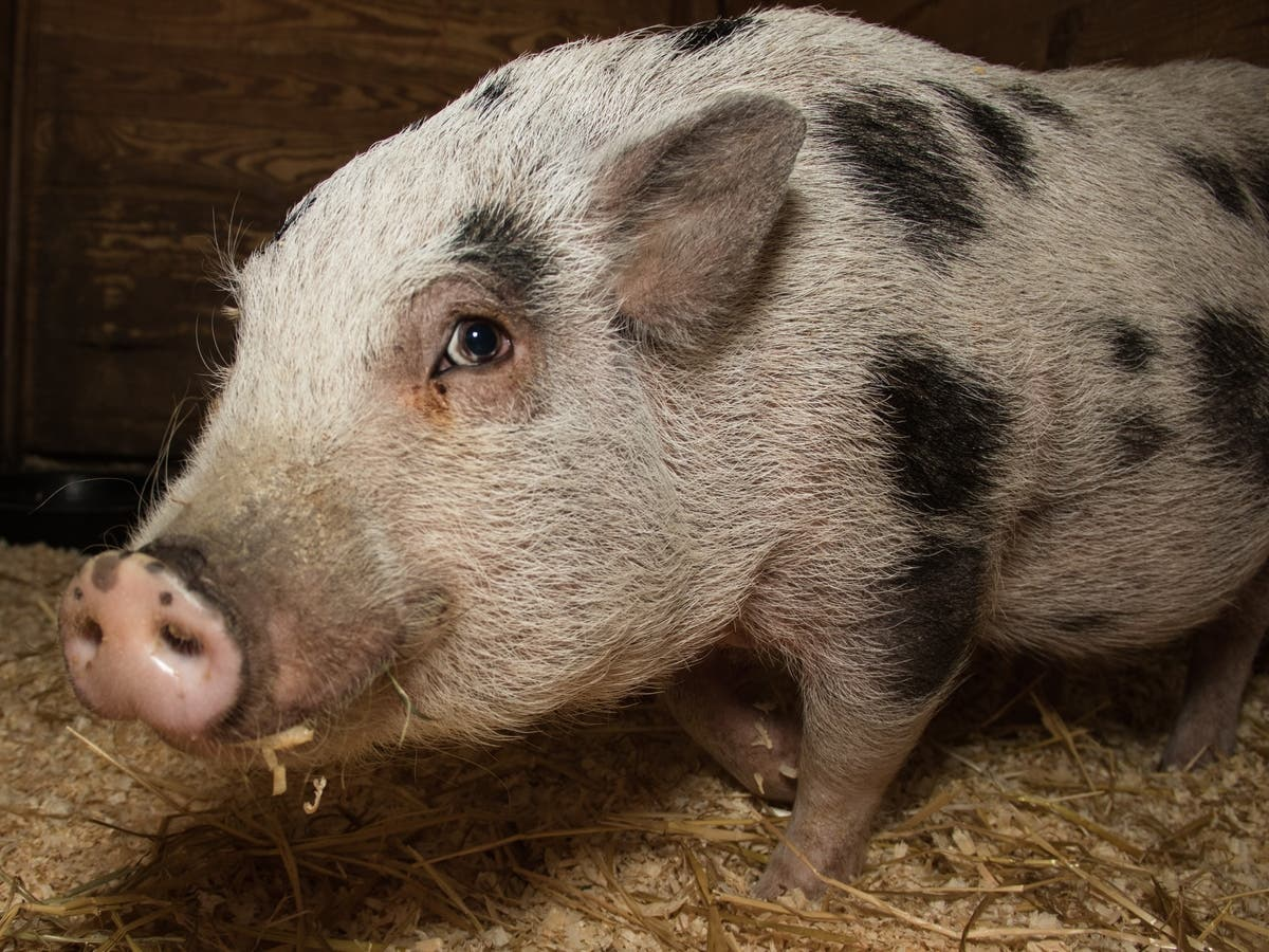 Did You Want To Adopt A Pig, Buster In Particular? It's Free