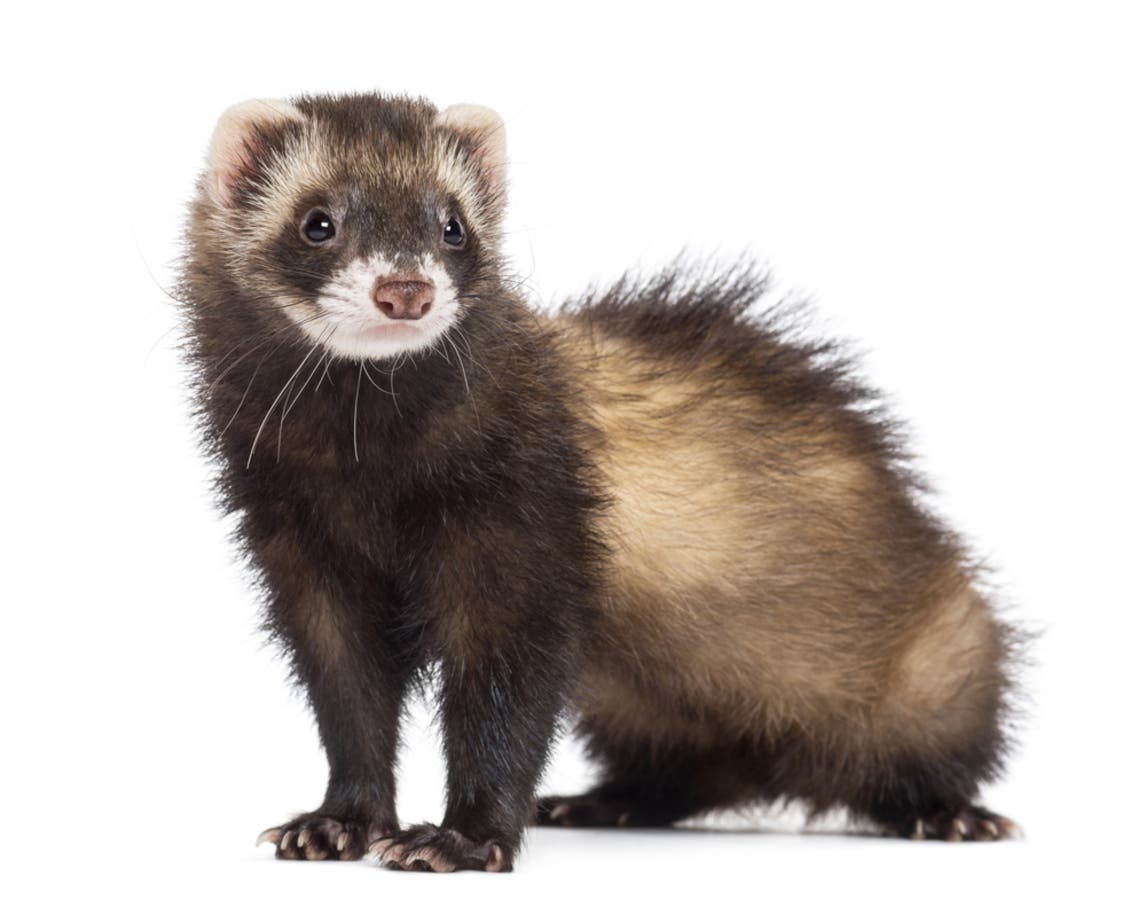 Did You Lose Your Ferret On The Rail Trail In Marlborough